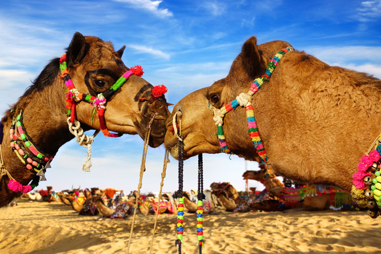 Camels wearing colourful decoration kissing in the desert