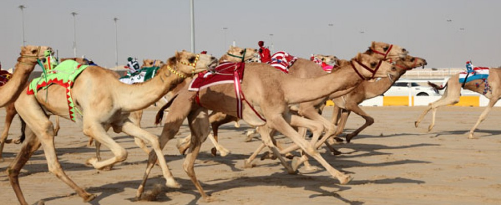 Racing camels with robots on their back